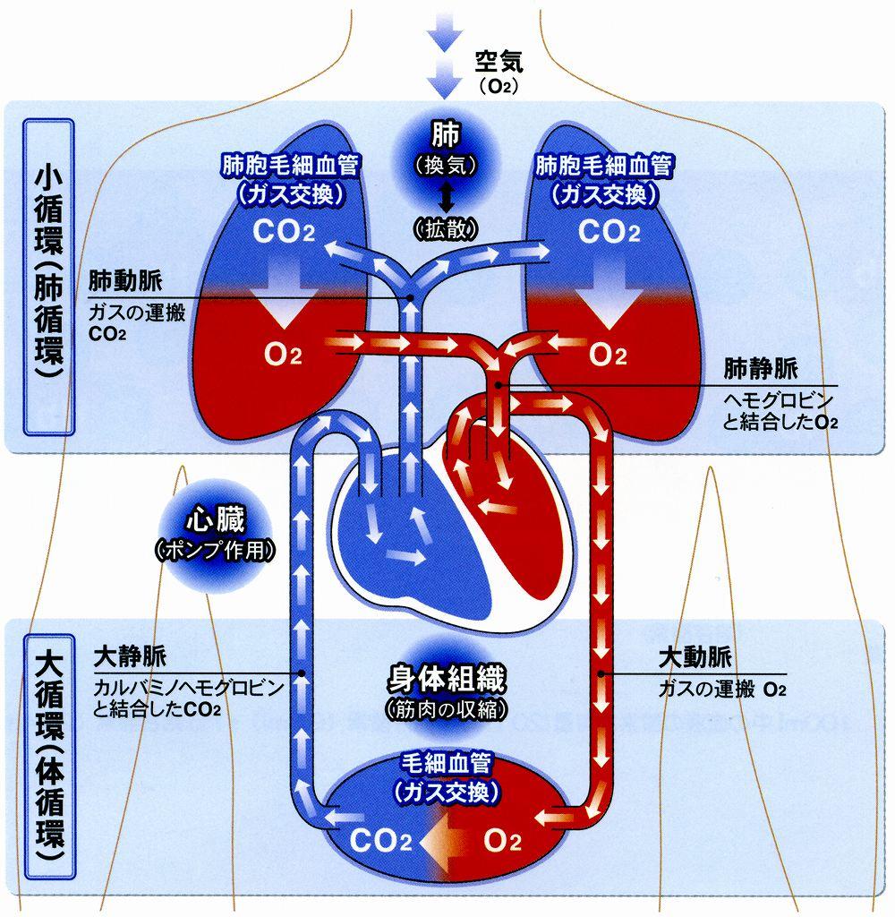 酸素は体をどのように流れるの?